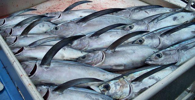 albacore tuna catch high rez